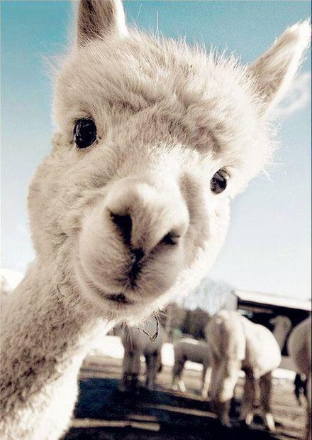 What is Alpaca? What's the Difference Between Llama, Alpaca, Vicuna and Guanaco?