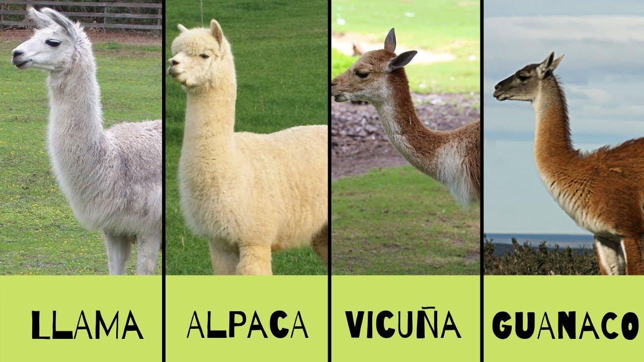 llama-alpaca-vicunes-guarano-veasoon