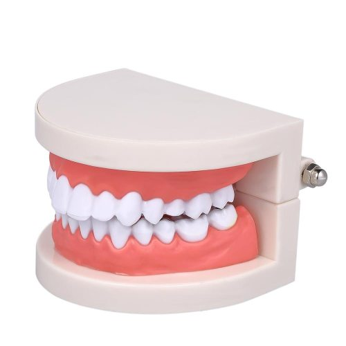Standard Tooth Teaching Giant Dental Dentist Teeth Model Child Kidtraining Model Disease Teeth Medical Educational Cleansing kids teaching and so on