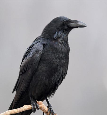 Halloween Decoration Realistic Crow