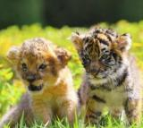 🔥 40% OFF Today 🔥 Super Cute Tiger Baby