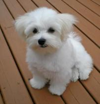 🔥HOT SALE🔥Realistic Maltese Poodle