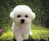 Realistic Bichon Frise Dog (Ronnie)