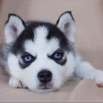 🔥 HOT SALE & Limited to  September 11 🔥Realistic Husky Dog Pomsky 🐕