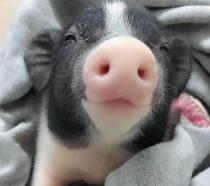 💖2020 Hot Sale💖Realistic Miniature Pig Pinkee