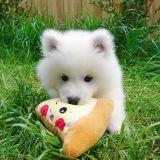 🔥Realistic Samoyed Dog Kisses
