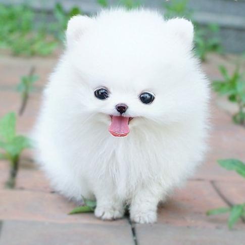💖Realistic Pomeranian Dog Nina💖