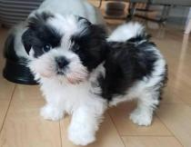 Lifelike Shih Tzu Dog