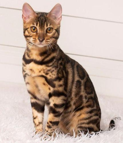 Realistic Bengal Leopard Cat — Paul