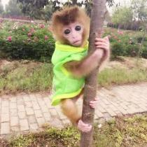 🔥$19.99 Only 🔥Realistic Monkey