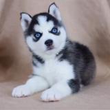 🔥 HOT SALE & Limited To $19.99 🔥Realistic Husky Dog Pomsky 🐕