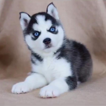 🔥 HOT SALE & Limited To $19.99 🔥Realistic Husky Dog Pomsky 🐕