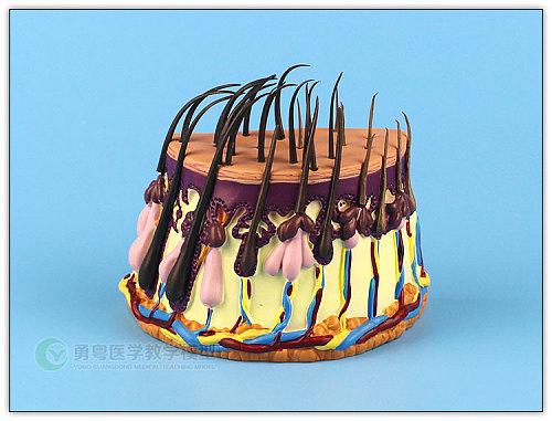 Hair growth process Hair follicles amplification Human skin anatomy free shipping