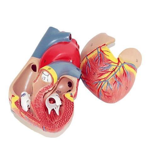 Human Cardiac Heart Anatomical model human  Viscera organs models  Medical Science supplies Teaching tools