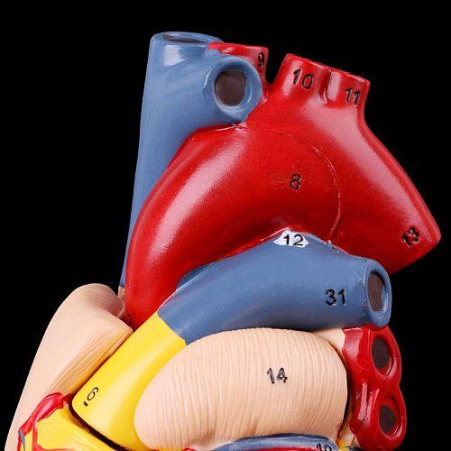 Disassembled Anatomical Human Heart Model Anatomy Medical Teaching Tool
