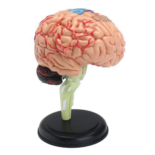 4D Disassembled Anatomical Human Brain Model School Educational Anatomy Medical Human Brain Model Anatomical Teaching Tool New