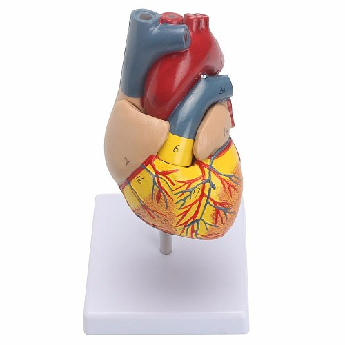Anatomical Human Life Size Heart Model - Medical Cardiovascular Anatomy 21x11x11cm
