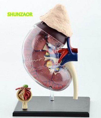 4D Human kidneys teaching model medicine medical equipment model puzzle assembling toys