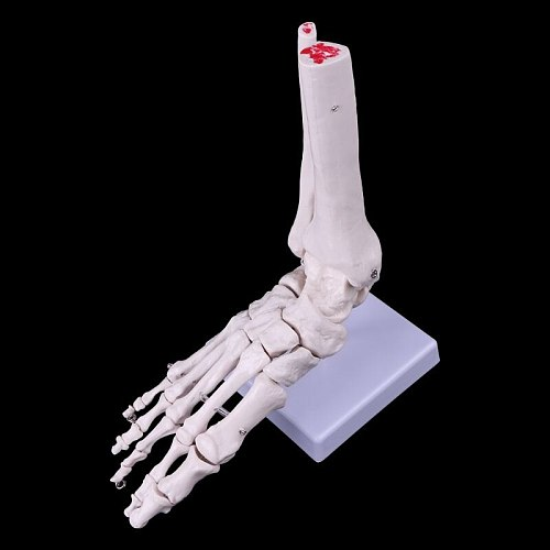 Medical Science Accessories Life size Foot Ankle Joint Anatomical Skeleton Model Medical Display Study Tool dropshipping