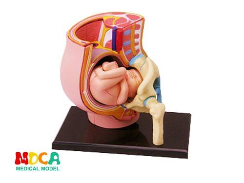 Gestation 4d master puzzle Assembling toy human body organ anatomical model medical teaching model