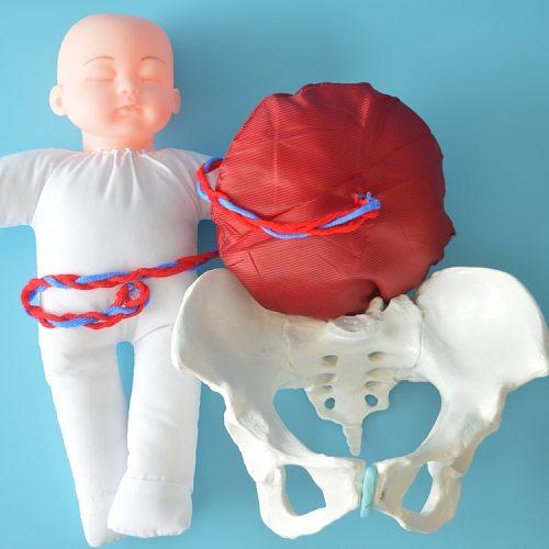 Human Delivery Demonstration Pelvis Teaching Anatomy Model Fetus Umbilical Cord Placenta Model