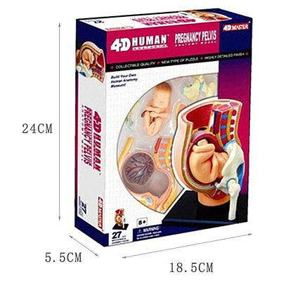 4D puzzle assembly toy human pregnancy model pregnancy organ anatomy model children's toy medical teaching model