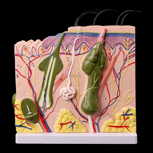 Easy to used Human Skin Model Block Enlarged Plastic Anatomical Anatomy specially for Teaching Tool