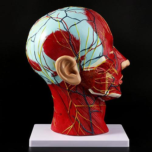 Human Anatomical Half Head Face Anatomy Medical Brain Neck Median Section Study Model Nerve Blood Vessel For Teaching
