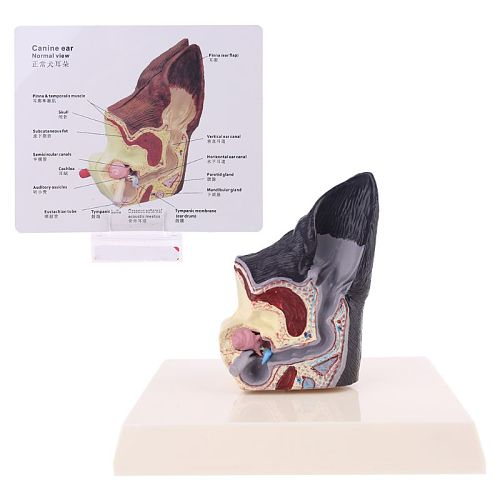 Dog Ear Lesion Animal Anatomical Model Veterinary Science Aids Teaching Research