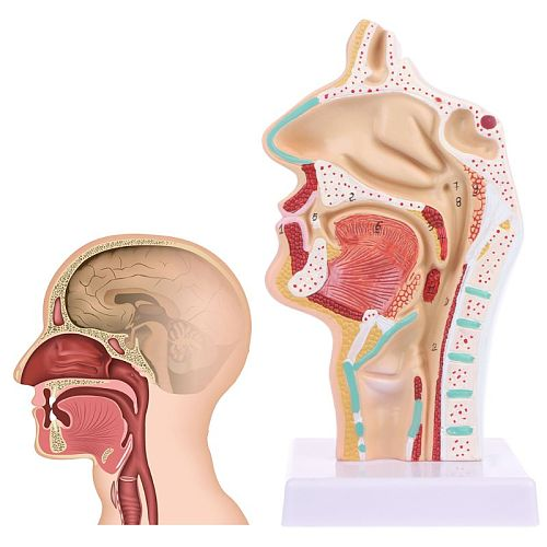 Human Anatomical Nasal Cavity Throat Anatomy Medical Model Teaching Tool Medical Science Stationery for School