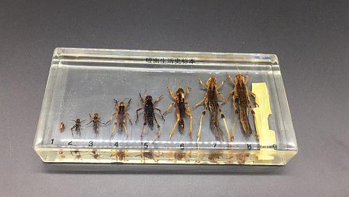 Life Cycle Of Grasshopper Specimens In clear Lucite Educational Instrument