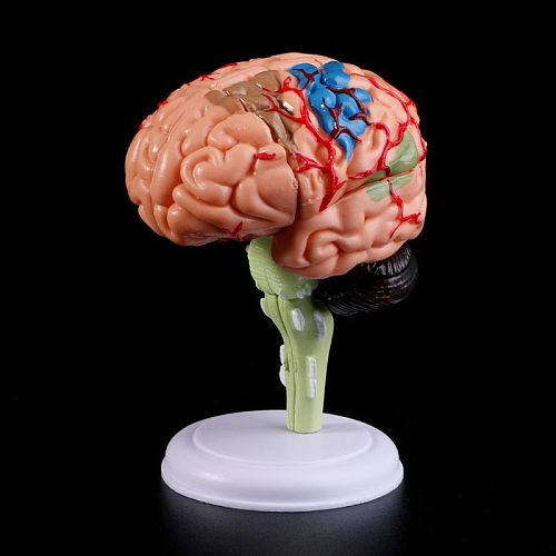 4D Disassembled Anatomical Brain Human Model Anatomy Medical Teaching Tool Statues Sculptures Medical School Use