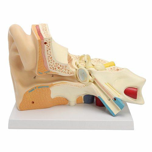 Human Ear Anatomical Anatomy 5 Times Enlarged Teaching Model