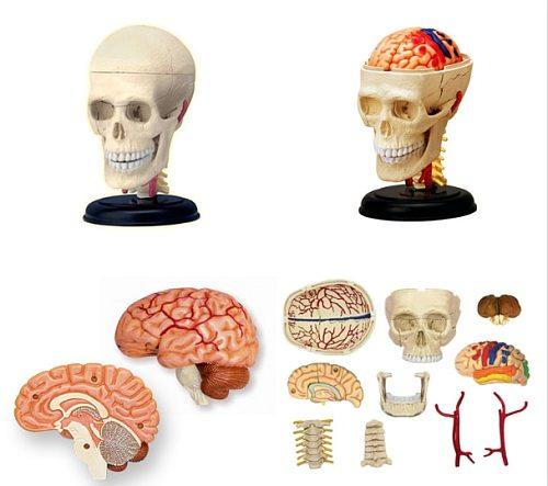 4d  Skull human anatomical  anatomy model replica  skull bone brain  body organs model medical supplies and equipment
