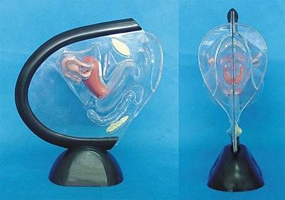 Simulation of Human Transparent Uterus Anatomy Medical Teaching Model  Human uterine structure model