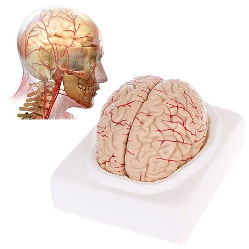 PVC Disassembled Anatomical Brain Model for specially for Anatomy Teaching Tool