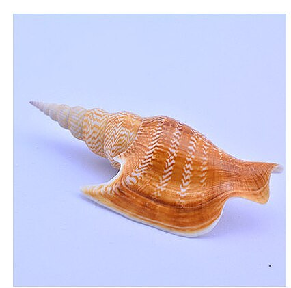 Natural conch shells coral golden axe snail collect fine specimen snail muszelki starfish