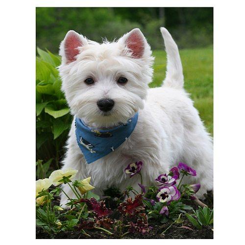 DIY Diamond Painting Cross Stitch westie dog Diamond Embroidery 5D Full Square round Drill Mosaic diamond Home Decor pet Animal