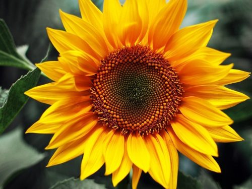 Sunflower Diy Paint By Numbers RA3201