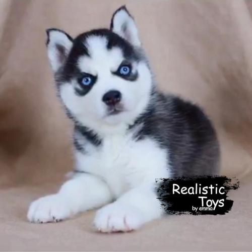 Realistic & Lifelike Husky dog  Pomsky , Handmade Plush Realistic Dog , Stuffed Toy