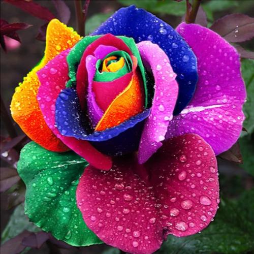 Rainbow Rose Seeds